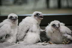 Falcon Banding-16