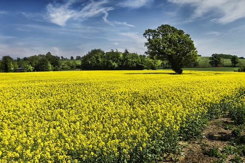 lone tree in the rapeseed