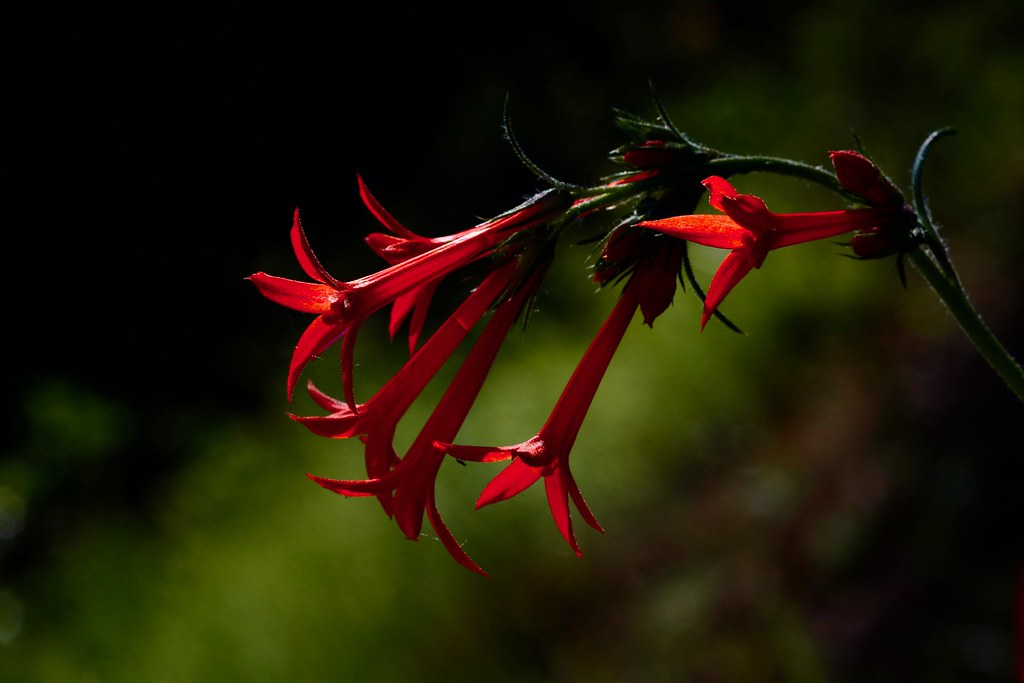 Scarlet Gilia, Skyrocket