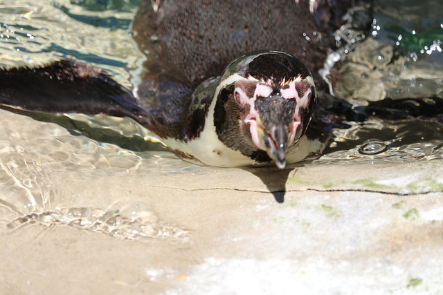 Penguin Swimming, Canon EOS 80D, Canon EF-S 55-250mm f/4-5.6 IS STM