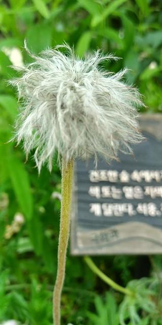 야생화동산 | 진짜 할머니가 된 할미꽃