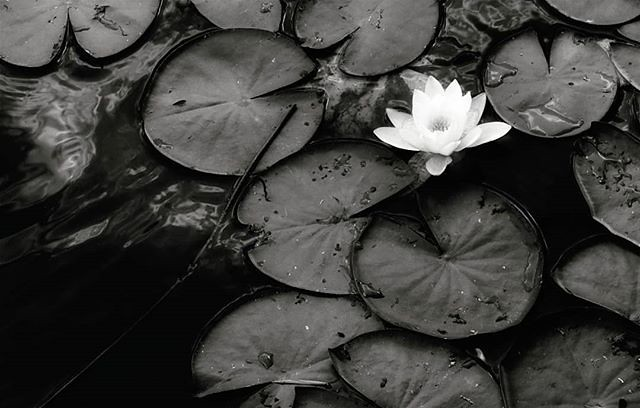 White flower (on black) #blackandwhite #bw #flower #nymphaea #lake #water #black #white #mood #igers #igersitalia #igersmilano #photooftheday #picoftheday #peace #quiet #sad #loneliness #photography