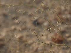 smoky spinecup, Oxytheca dendroidea subsp. dendroidea