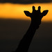 Giraffe (© Jonathan Lewis)