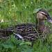 Duck - just chillin'