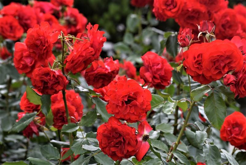 Roses 12.06 (1)