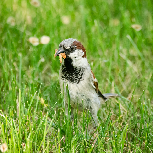 house sparrow with mouthful