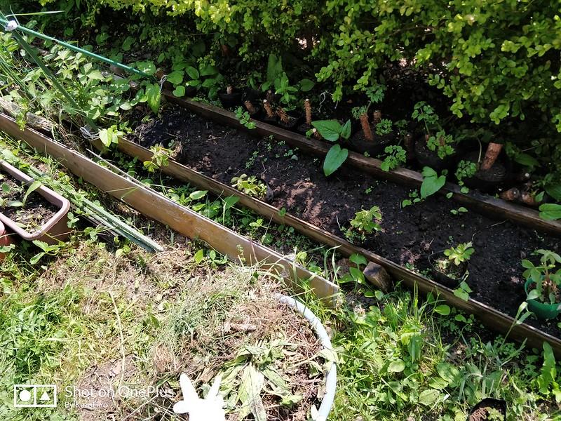 ブラックベリーの苗を作る (19)