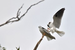 Black shouldered Kites ( its not hard to work out )