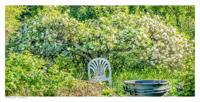 The Magic Apple Tree in spring, Castlefield Allotments, Eynsford. Kent.