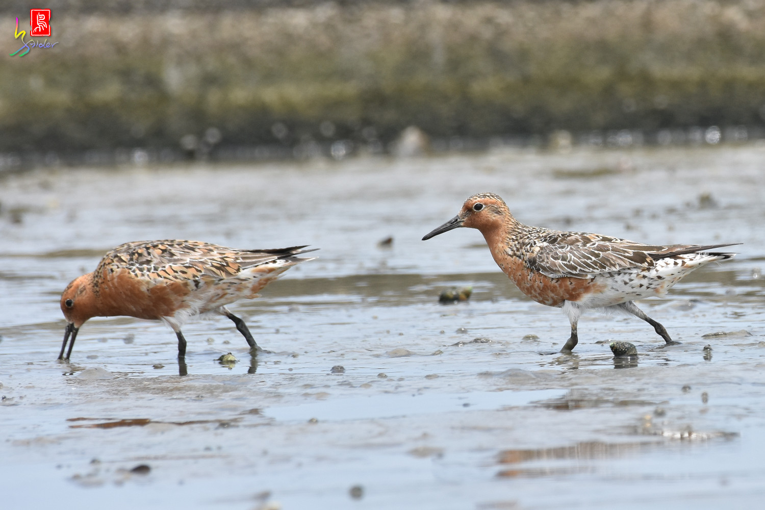 Red_Knot_0311