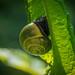 Brown-lipped Snail - Cepea nemoralis