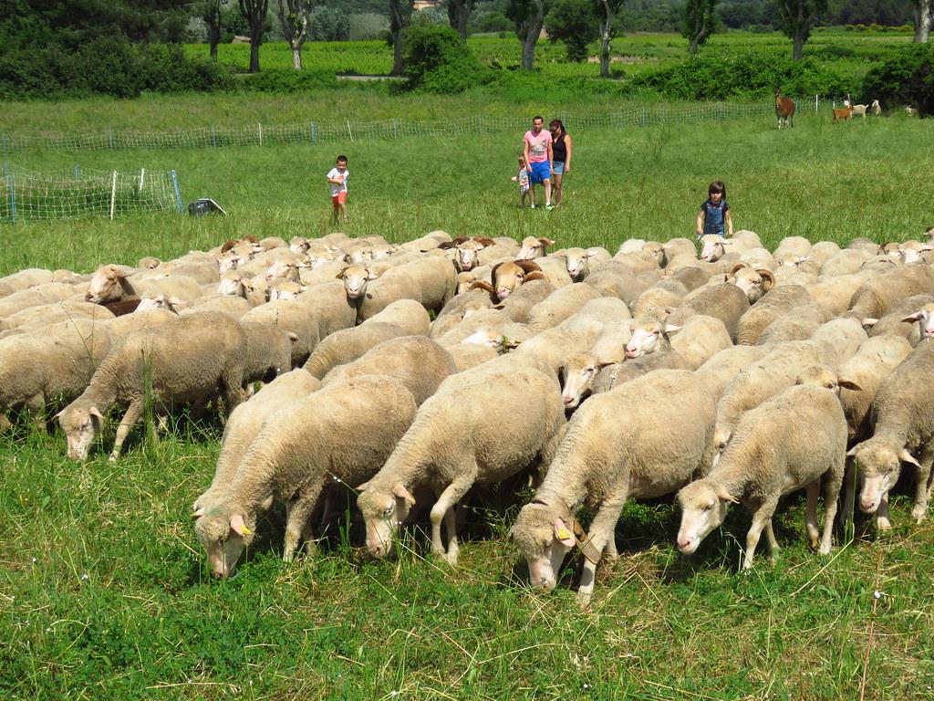 Moutons à TRETS - 2 Juin 2018