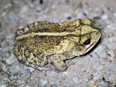 Gulf Coast Toad (Incilius nebulifer), Trophy Club Park, Texas, 5-30-18 B
