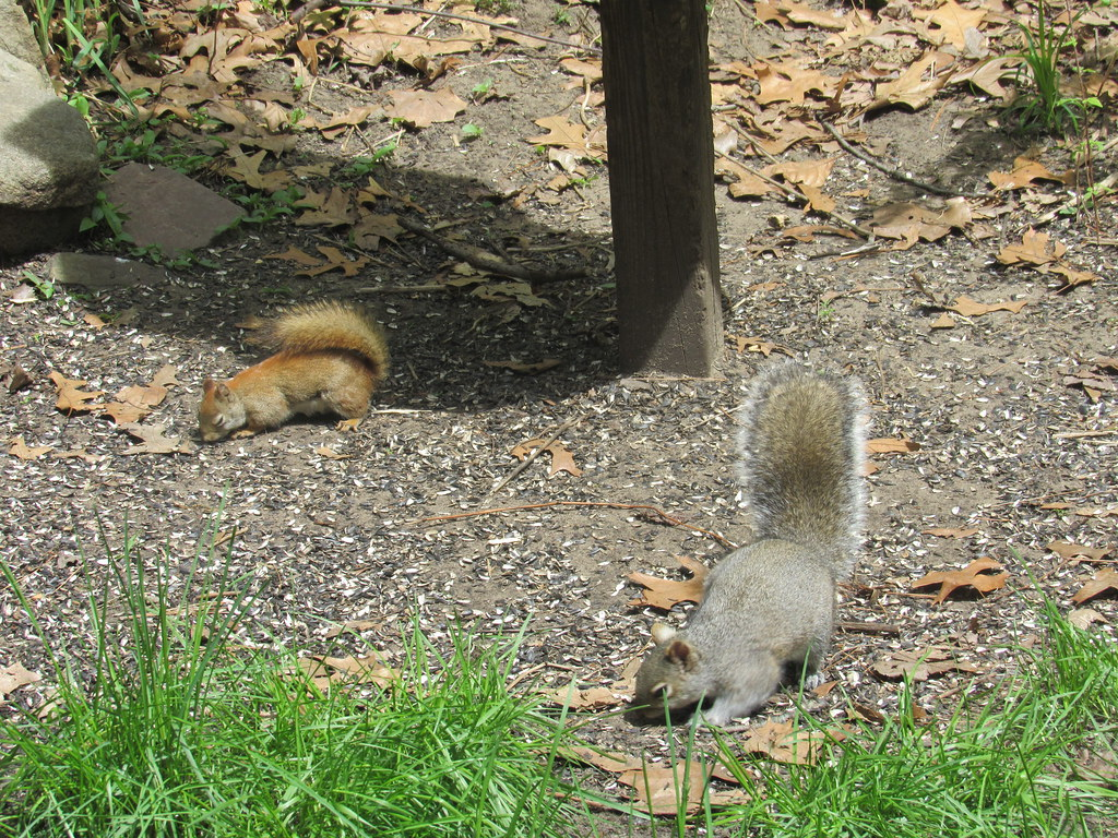Red and Gray Squirrels