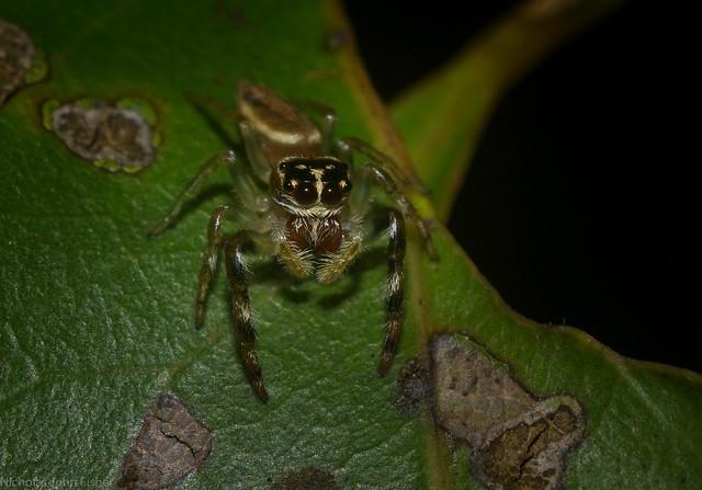 Opisthoncus 2-spot southern