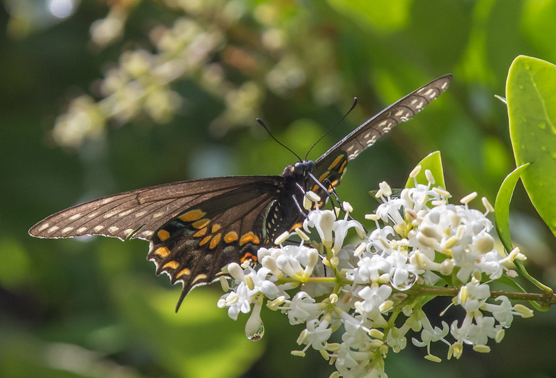 Madame Butterfly...female Black Swallowtail?