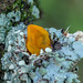 Guepiniopsis buccina