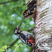 Greater Spotted Wood Pecker and Chick