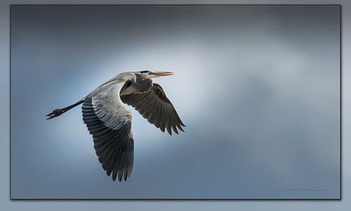 Great Blue Heron / Grand héron / Ardea herodias