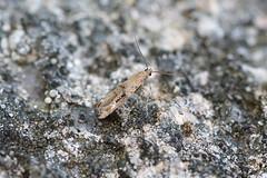 Epermeniidae