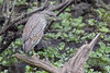 Immature Black-crowned Night Heron by DFChurch