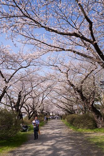 sakura leicaq kitakami leica iwate japan typ116 さくら 北上 岩手 日本 kitakamishi iwateken jp