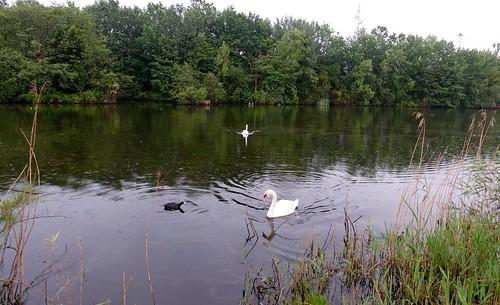 Cisnes en Plaiaundi