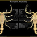 Scorpion Anatomy EN