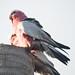 Nesting Galahs - Back Yard