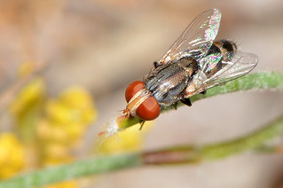 Sarcophagidae - Miltogramminae fly