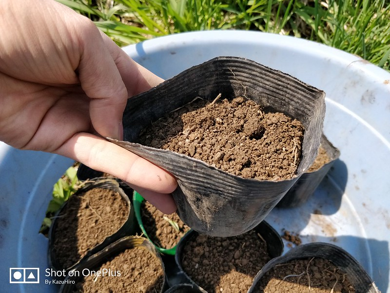ブラックベリーの苗を作る (2)