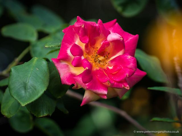 Where the wild roses grow 2