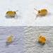Deuterosminthurus pallipes