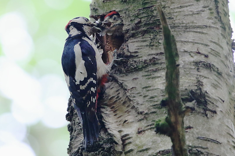 Male Great Spotted Woodpecker feeding chick