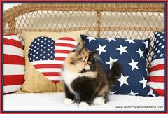 Calico Kittens