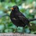 Blackbird (male) - Turdus merula