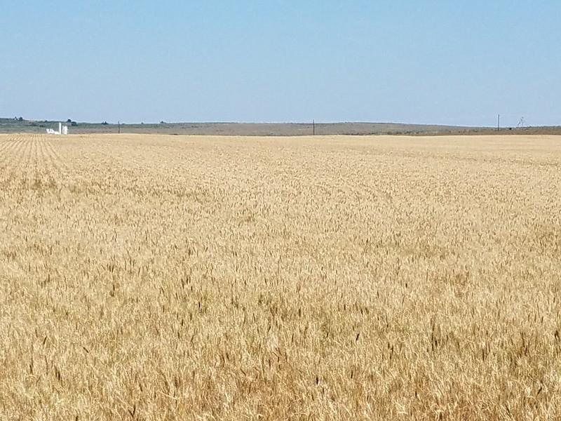 Hemphill County, TX wheat on 5/30/18