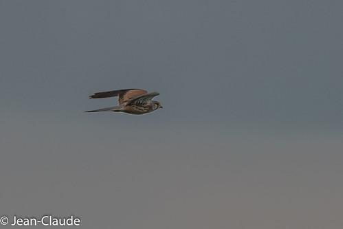 Falco tinnunculus ♂ - Kestrel