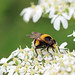 White-tailed Bumblebee Mimic Hoverfly (Volucella bombylans)