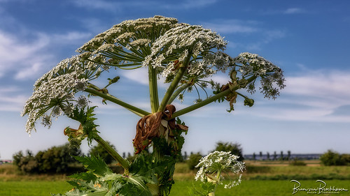 Giant Hogweed (very dangerous plant!)
