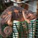 Caméléon-panthère (endormi) femelle
