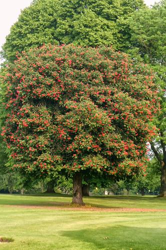 Red Horse Chestnut