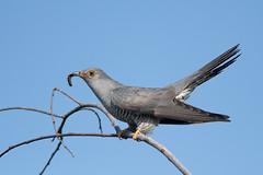 Cuculo - Cuculus canorus - Common Cuckoo