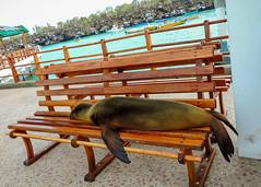 Sea Lion @ Puerto Ayora; Santa Cruz