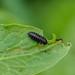 Green Dock Beetle larva -  Gastrophysa viridula