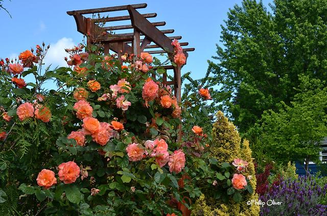 rose-westerland