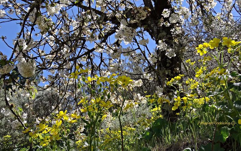 38 Guindero y Morgallana en flor