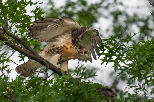 fledling wings wildlife tree nature bird birdsofprey redtailedhawk raptor juvenile flapping philadelphia pennsylvania unitedstates us nikon d500