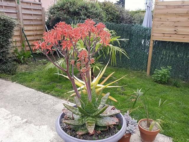 Aloe grandidentata - Page 2 42390939811_7f8bcd4e3d_z